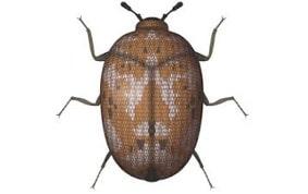 beetle treatment
